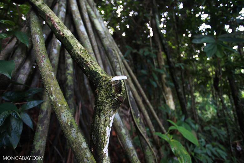 White fungi in the Darien rainforest
