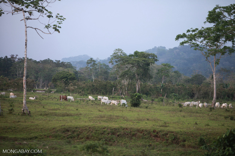 Cattle in Colombia [colombia_2310]