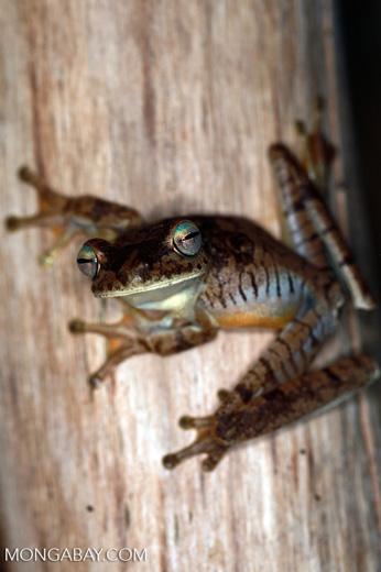 Hypsiboas rosenbergi tree frog [colombia_2345]