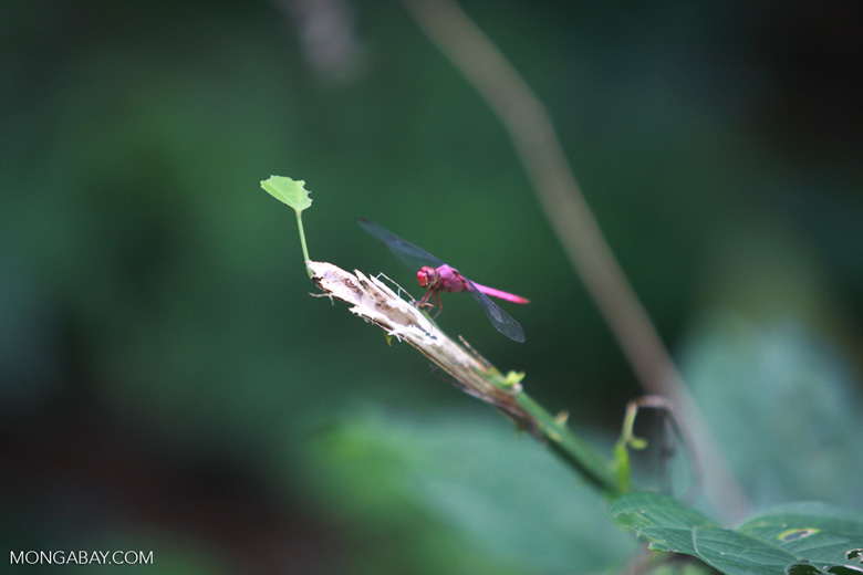 Raspberry-colored dragonfly
