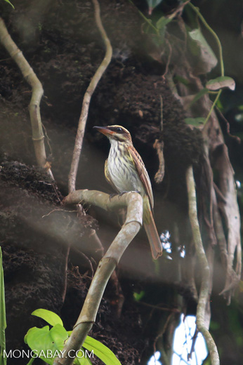 Woodcreeper [colombia_2453]