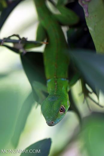 Juvenile green iguana (Iguana iguana) [colombia_2505]