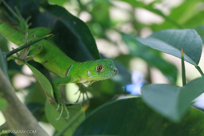 Juvenile green iguana (Iguana iguana) [colombia_2514]
