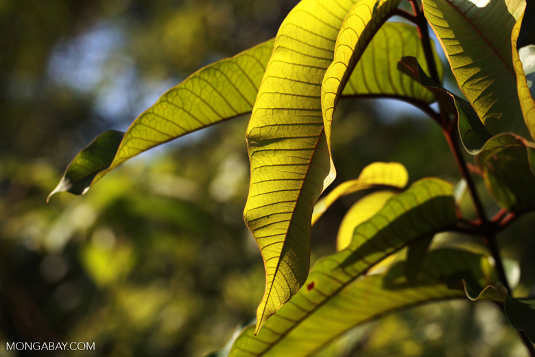 Rainforest leaf illuminated by sunlight
