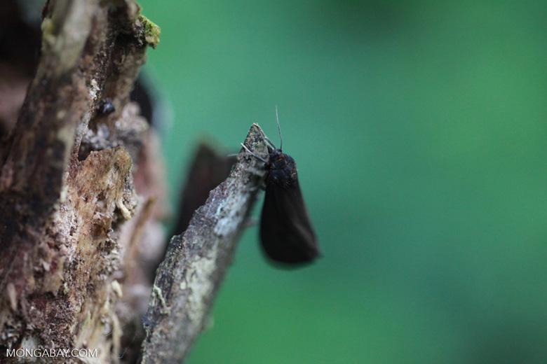 Dark brown moth [colombia_2759]