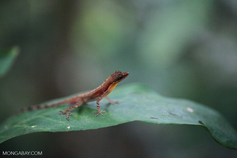 Forest anole [colombia_2764]