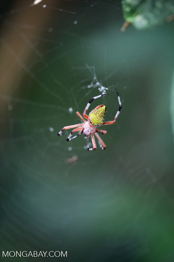 Orb spider [colombia_2856]