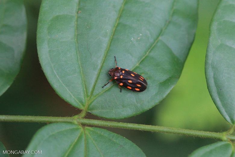 Dark brown bug with bright orange spots [colombia_2874]