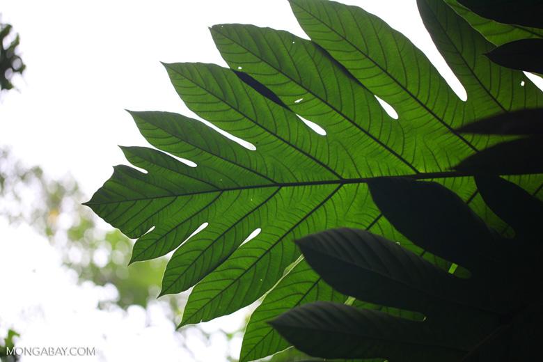 Breadfruit (Artocarpus altilis)