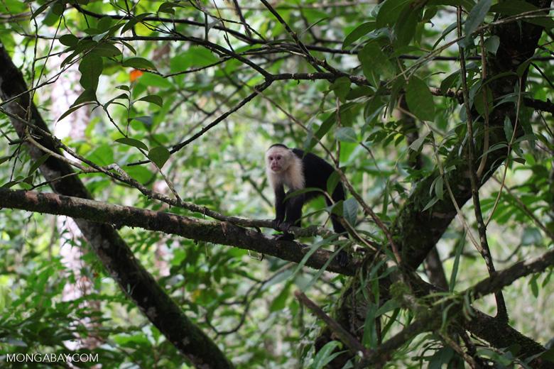 White-headed capuchin