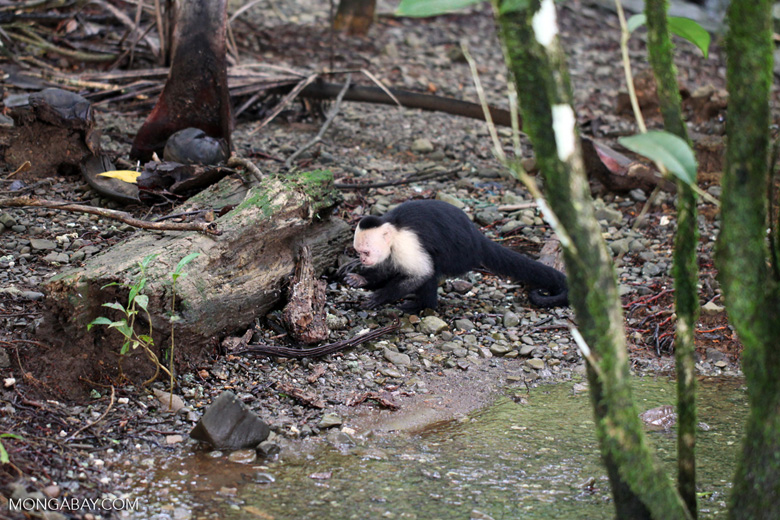 White-headed capuchin monkey (Cebus capucinus) tearing open an ant nest [colombia_2978]