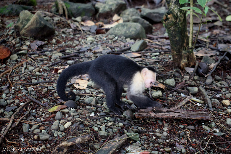 White-headed capuchin monkey (Cebus capucinus) tearing open an ant nest [colombia_2987]