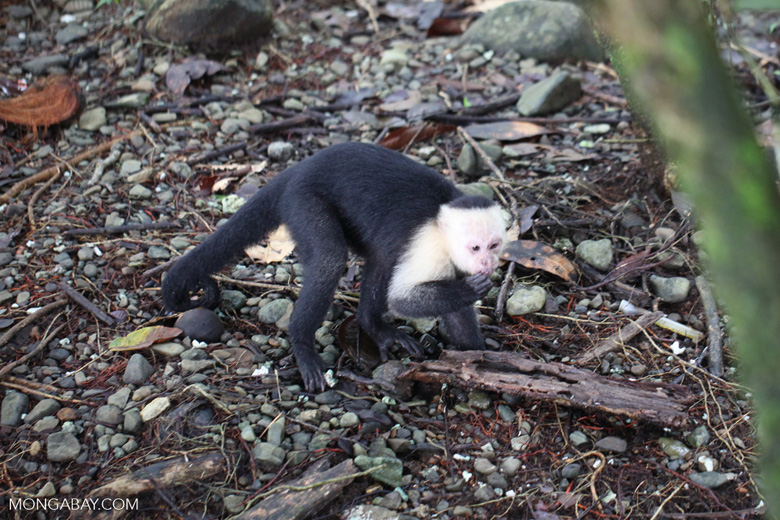 White-headed capuchin (Cebus capucinus) tearing open an ant nest [colombia_2994]