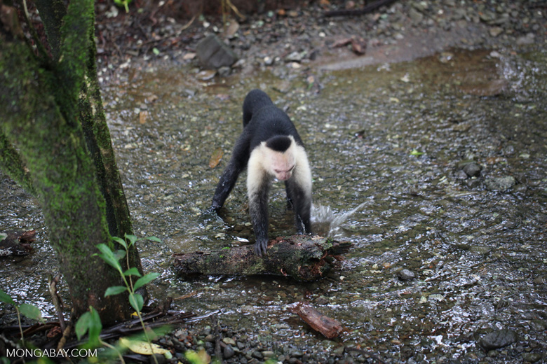White-headed capuchin monkey tearing open an ant nest [colombia_2999]