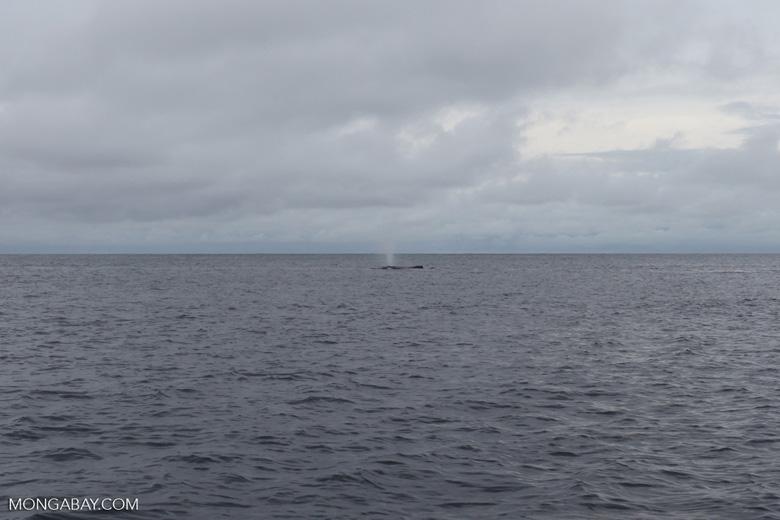 Humpback whale off Gorgona