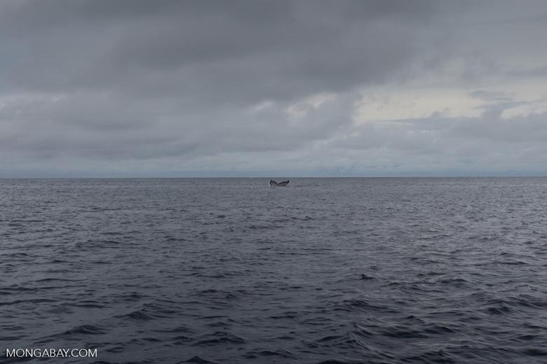 Humpback whale off Gorgona [colombia_3069]