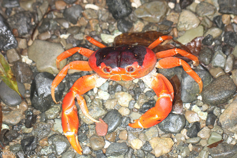 Sally lightfoot crab [colombia_3106]