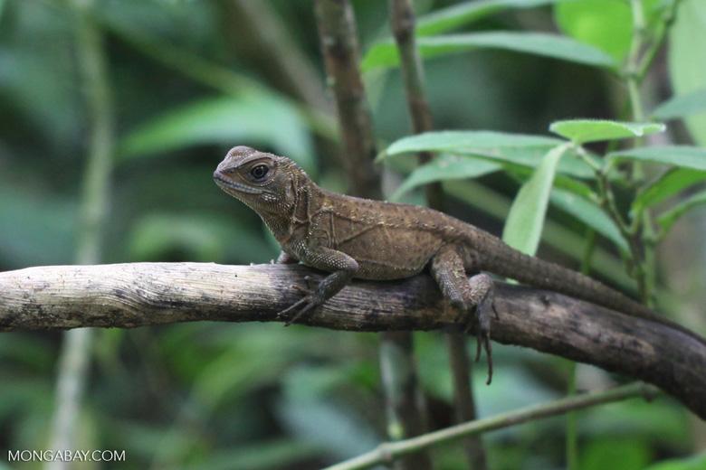 Lizard [colombia_3129]