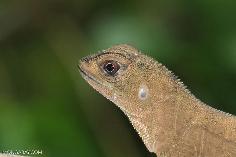 Lizard [colombia_3132]