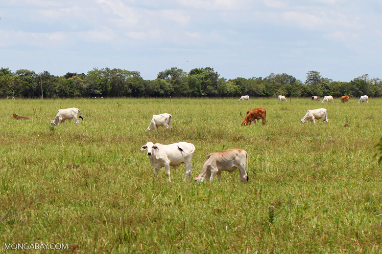 Cattle in the llanos of Colombia