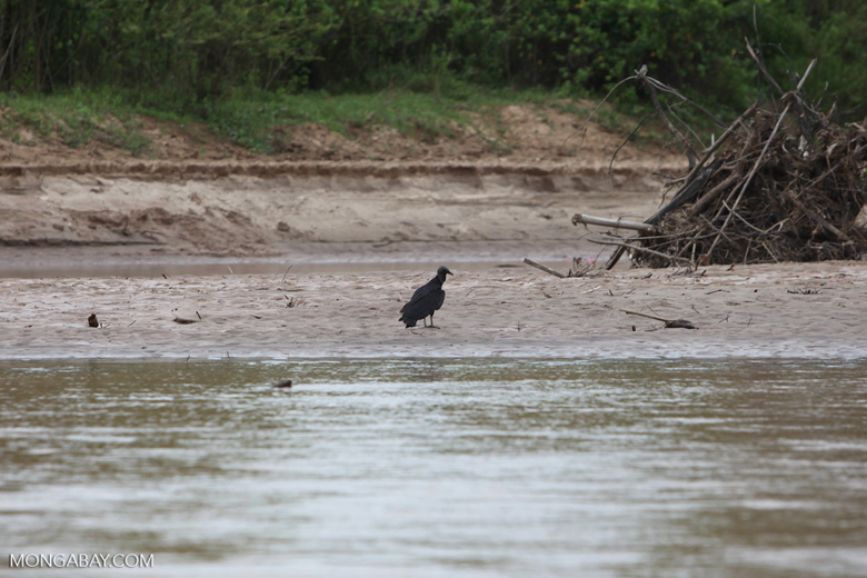 Blac vulture