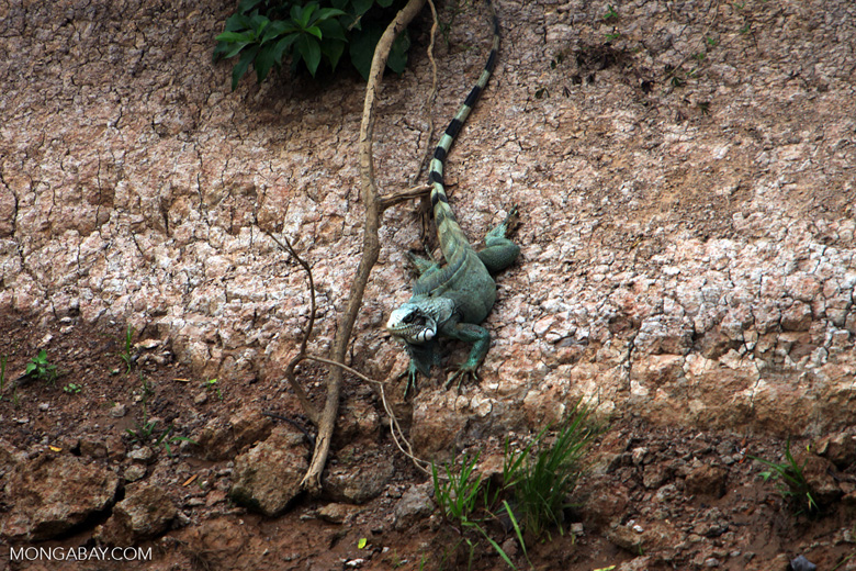 Green iguana on a river bank