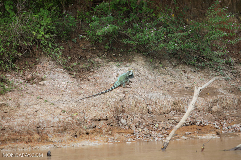 Green iguana on a river bank [colombia_3324]