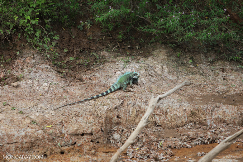Green iguana on a river bank [colombia_3325]