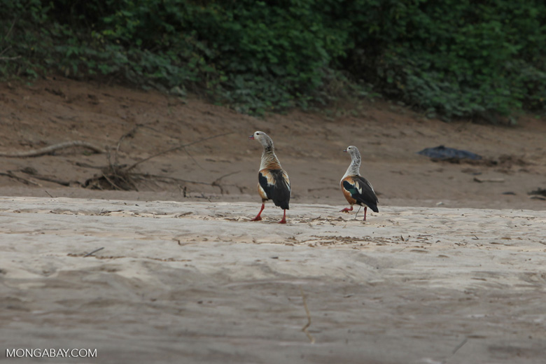 Orinoco geese [colombia_3335]