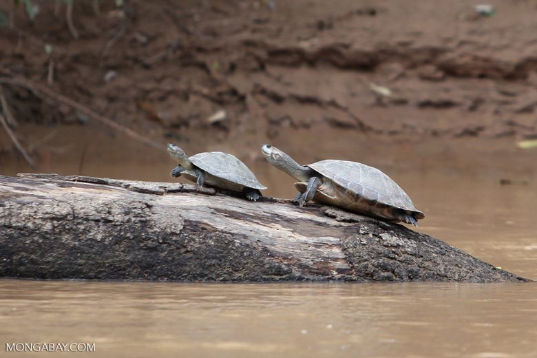 River turtles [colombia_3353]
