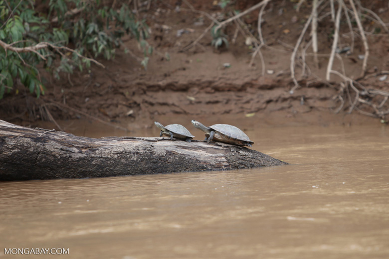River turtles [colombia_3354]
