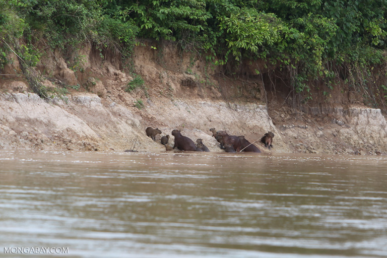 Group of capybara on a river bank [colombia_3357]