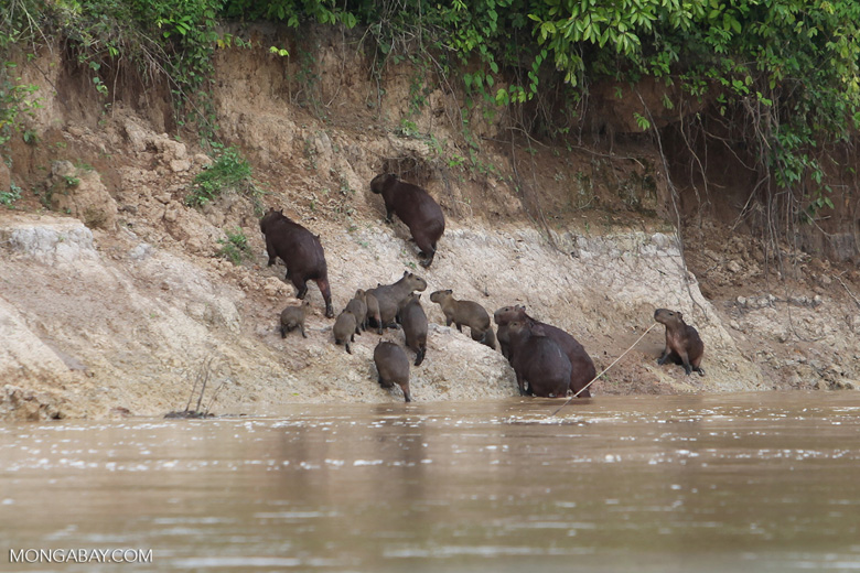Group of capybara on a river bank [colombia_3359]