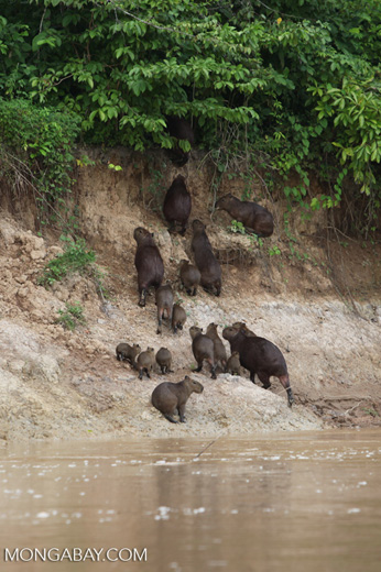 Group of capybara on a river bank [colombia_3363]