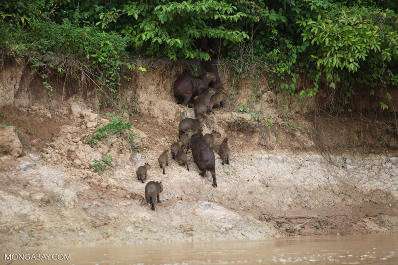 Group of capybara on a river bank [colombia_3366]