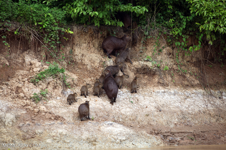 Group of capybara on a river bank [colombia_3367]