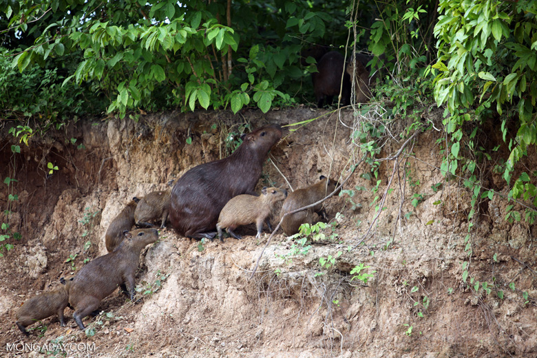 Group of capybara on a river bank [colombia_3371]