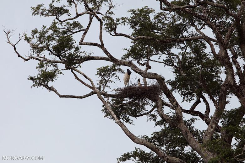 Jabiru stork standing in its nest [colombia_3385]