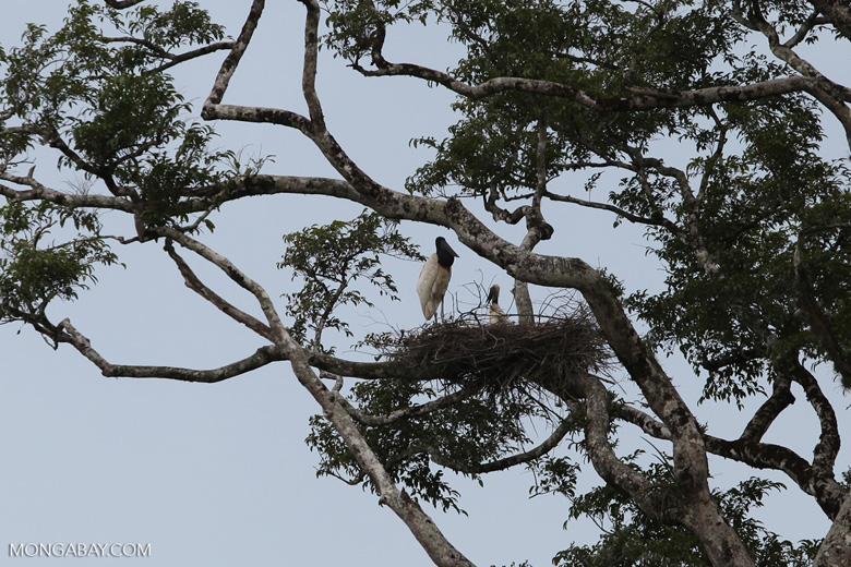 Jabiru stork standing in its nest [colombia_3386]