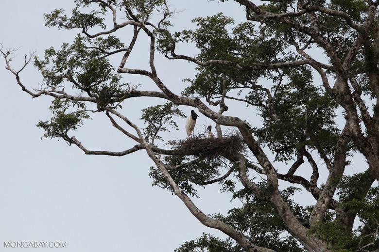 Jabiru stork standing in its nest [colombia_3387]