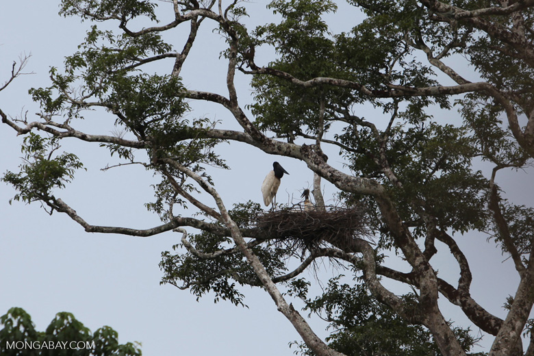 Jabiru stork standing in its nest [colombia_3394]