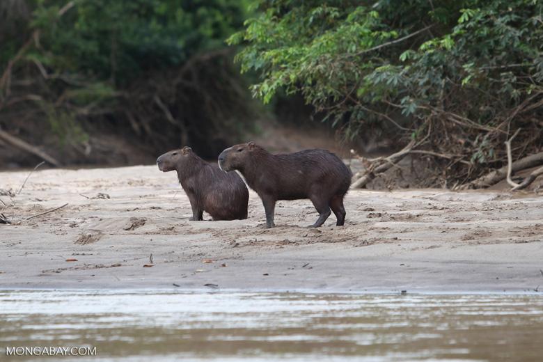 Capybara on a beach [colombia_3396]