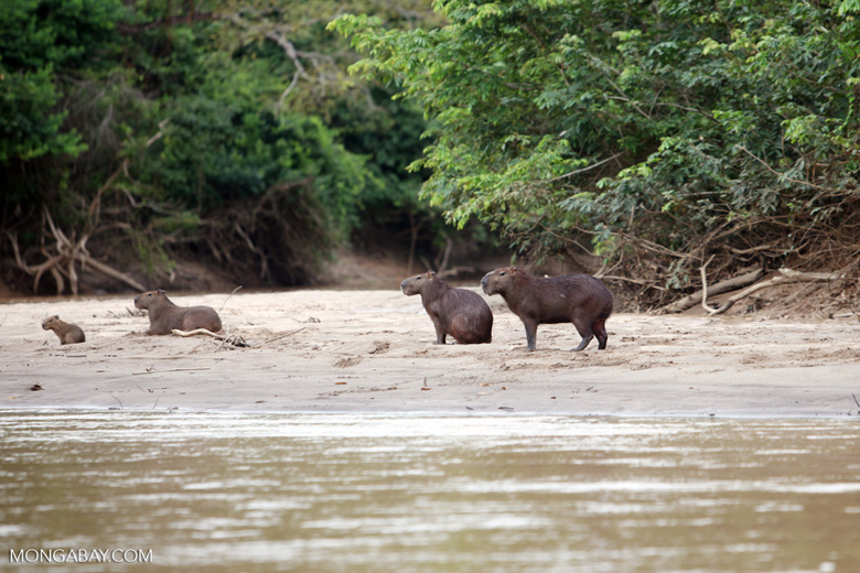 Capybara on a beach [colombia_3398]