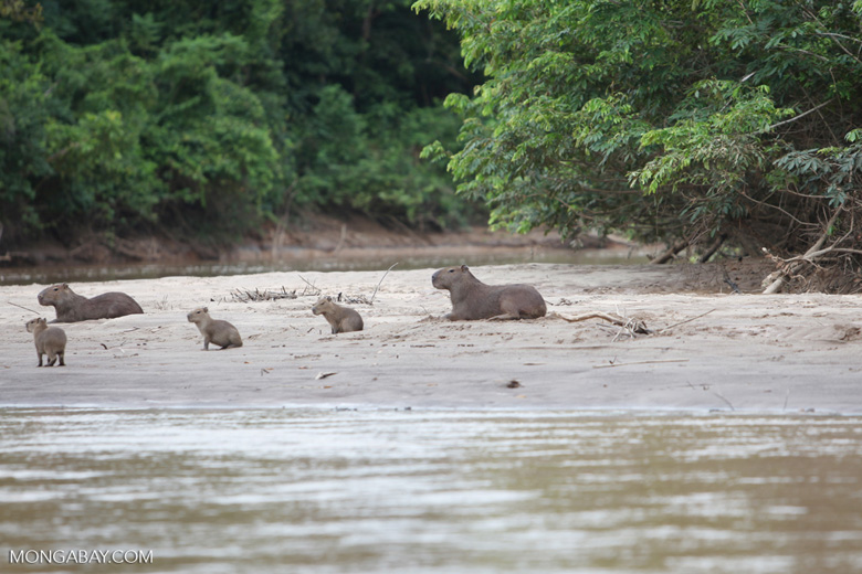 Capybara, including babies, on a beach [colombia_3400]