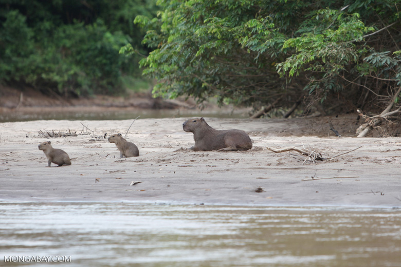 Capybara, including babies, on a beach [colombia_3402]