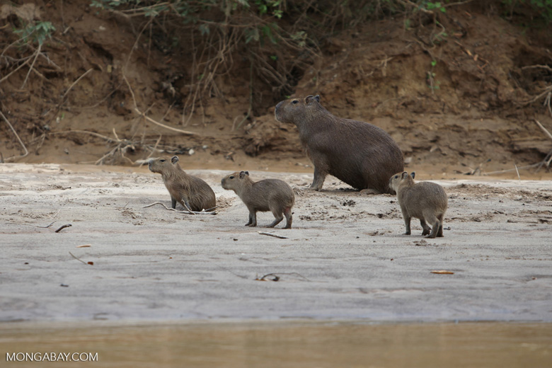 Capybara, including babies, on a beach [colombia_3406]