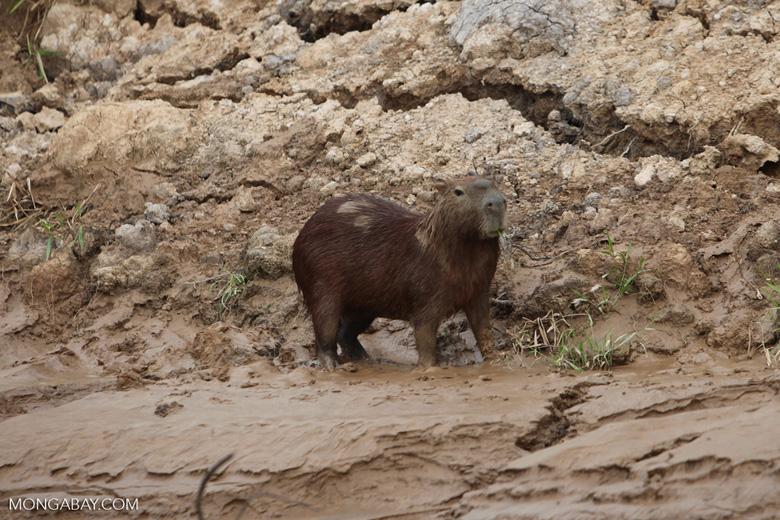 Colombia capybara