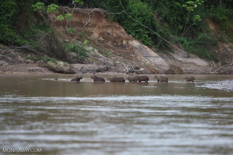 Capybaras in a river [colombia_3421]