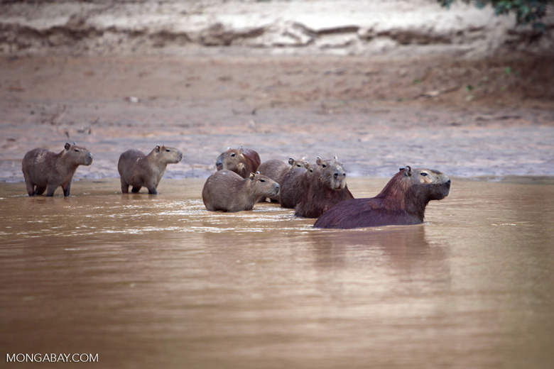 Capybaras in a river