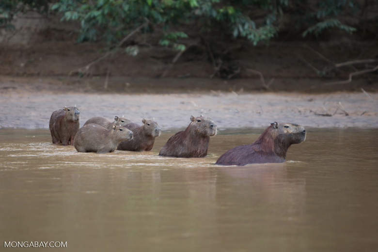 Capybaras in a river [colombia_3435]